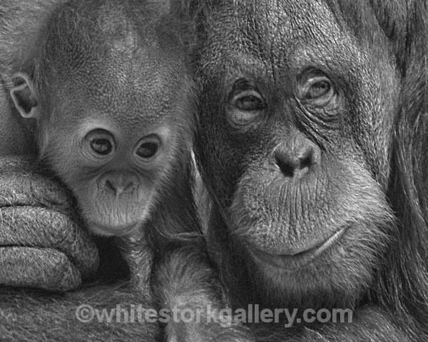 Orangutans - Wildlife and Animals