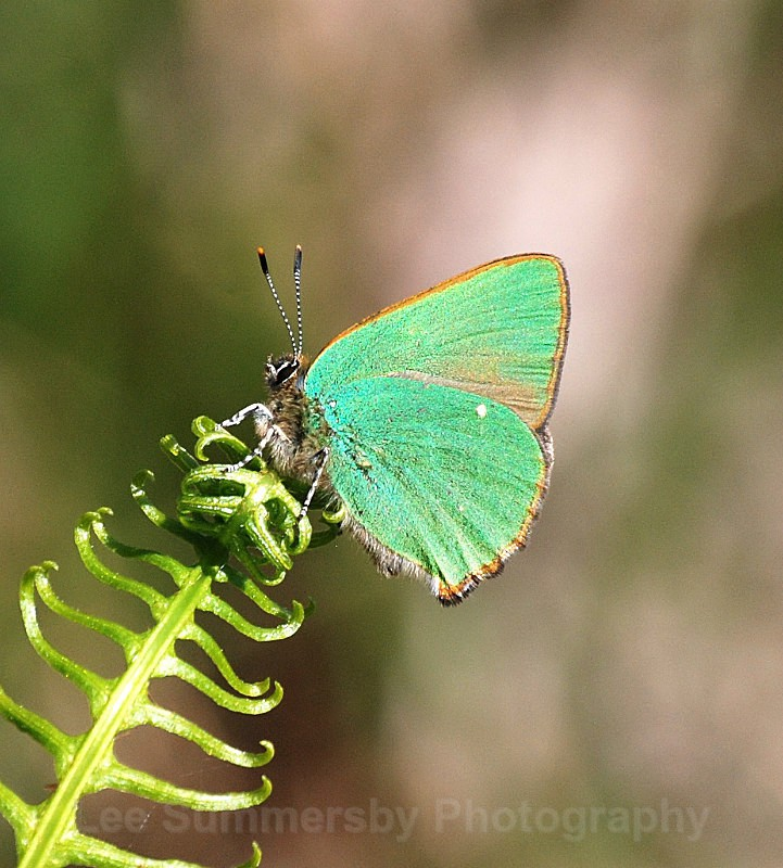 Green Hairstreak, Bystock ponds, Exmouth - Butterflies and Moths