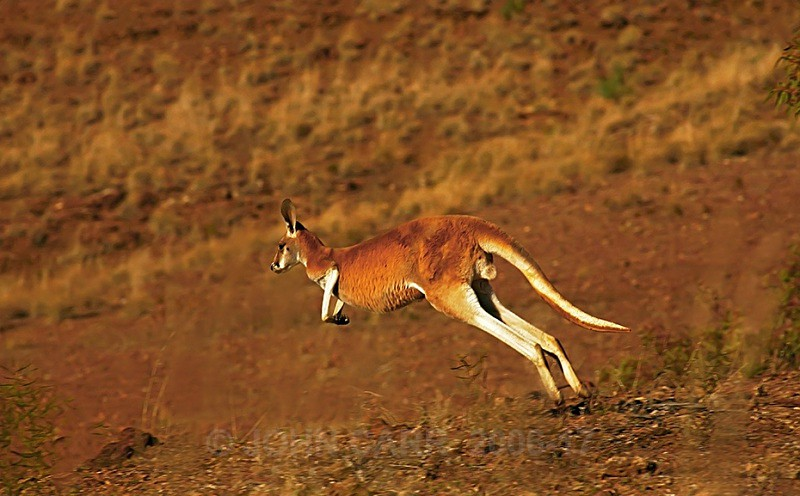 Red Kangaroo 3 - ANIMAL AND BIRD PHOTOS