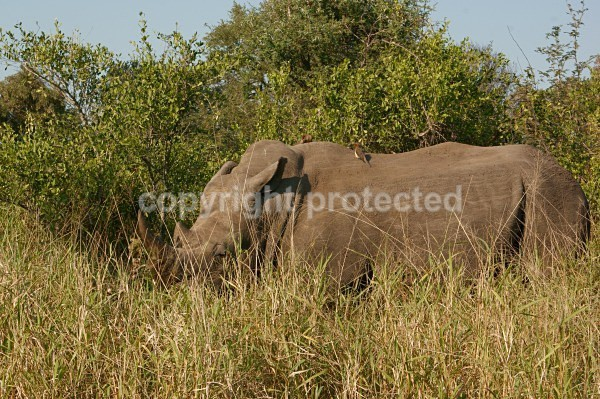 White Rhino - Krüger NP, South Africa - African Wildlife