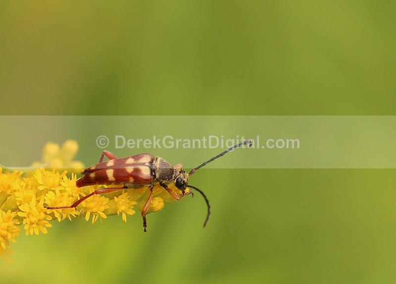 Flower Longhorn Typocerus Velutinus - Bees, Beetles, Bugs