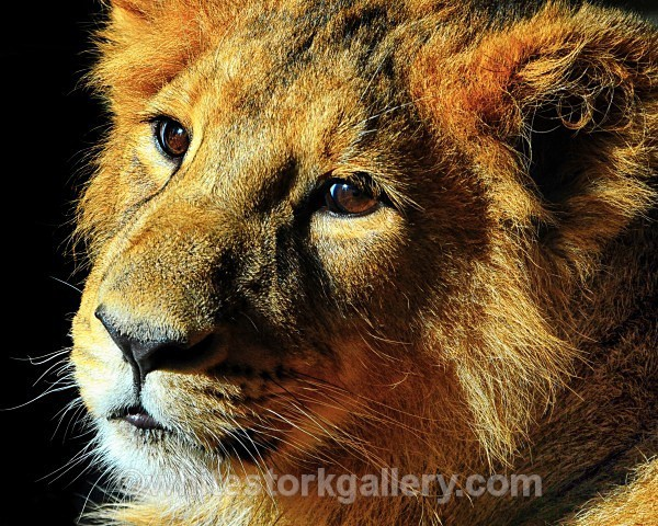 The Lion Cub - Wildlife and Animals