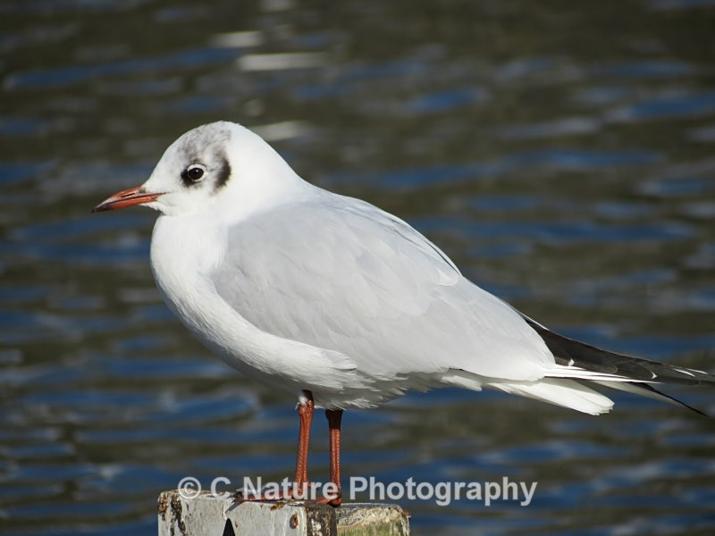 Black-headed Gull - Birds