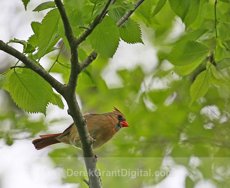 Northern Cardinal (f) - Birds of Atlantic Canada