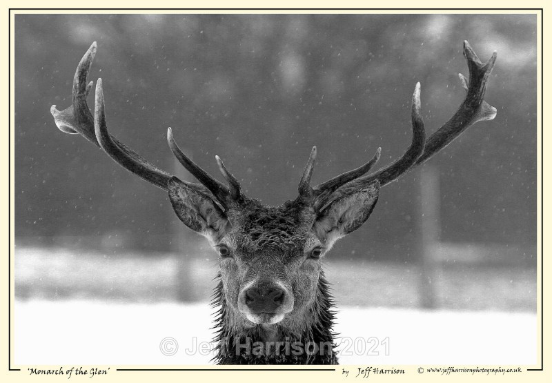 'Monarch of the Glen' - Image Red D 002a - Red Deer