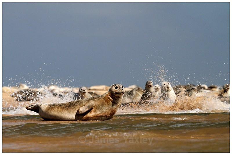 Common Seals Basking at Blakeney Harbour - The British Wildlife Photography Awards 2009 to 2014