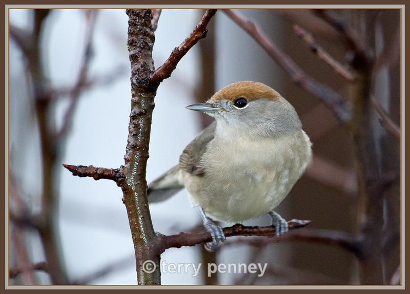 Blackcap - female (Sylvia atricapilla) - Birds