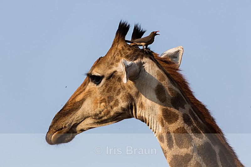 Bird's view - Giraffe