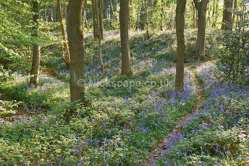 Bluebell Woodland - Barnsley - Yorkshire - Yorkshire