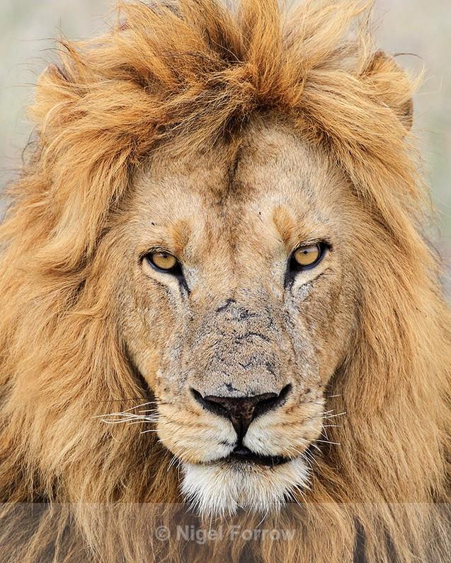Lion portrait, Masai Mara - Lion