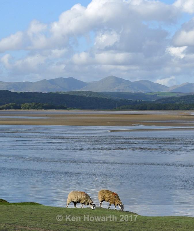 Sheep near the Leven Estuary - Lakeland Landscapes