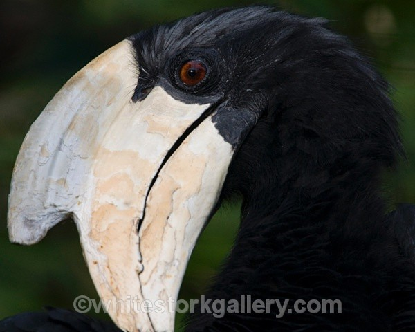 Hornbill - Wildlife and Animals