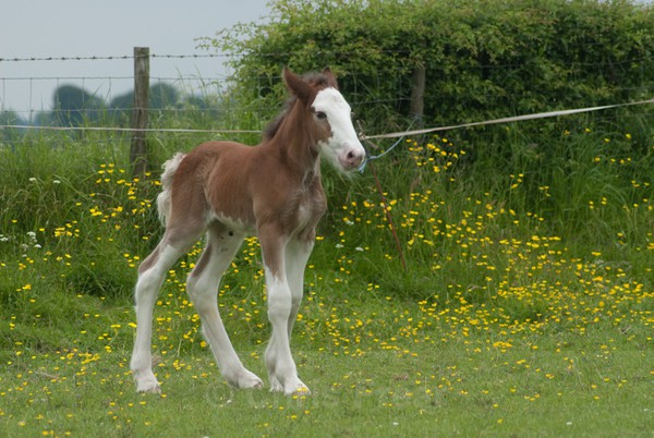 ryecroft-18 - Clydesdales 2013 Include Foals