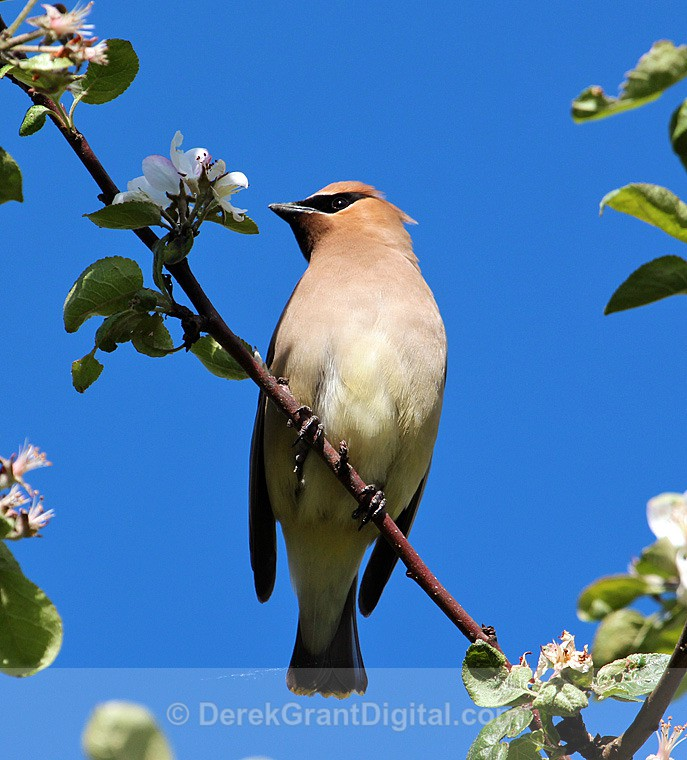 Cedar Waxwing - Birds of Atlantic Canada