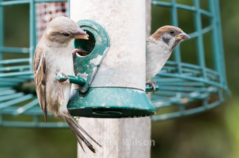 Tree Sparrow - On the feeders