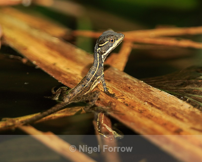 Brown Basilisk, Corcovado National Park, Costa Rica - REPTILES & AMPHIBIANS