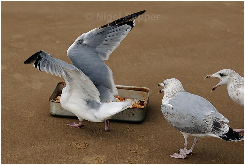 Feeding Time ( 6 ) - Leggy the Herring Gull