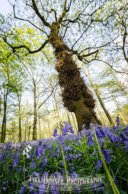 The White Bell - Spring & Summer in The Forest of Dean & Wye Valley and BLUEBELLS!