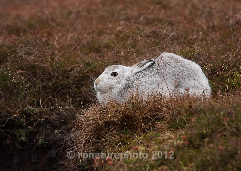 Mountain Hare - Lepus timidus RPNP0040 - Mammals