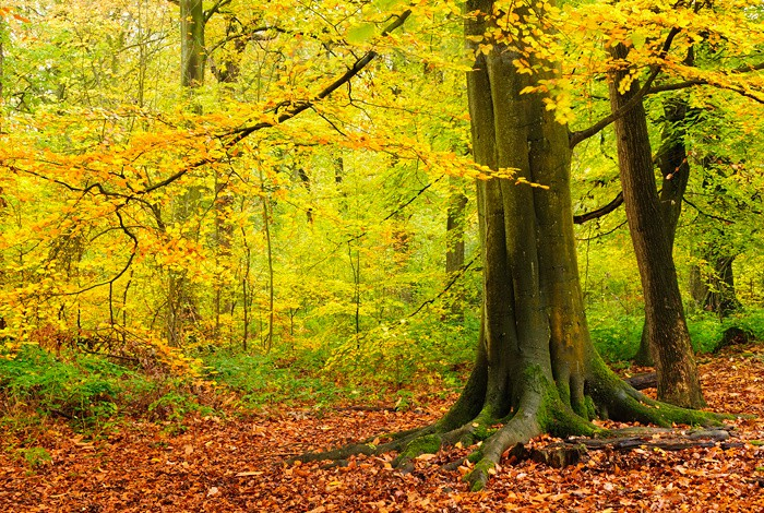 Autumnal Colours in British Woodland | Ecclesall Woods