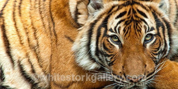 Siberian Tiger - Wildlife and Animals
