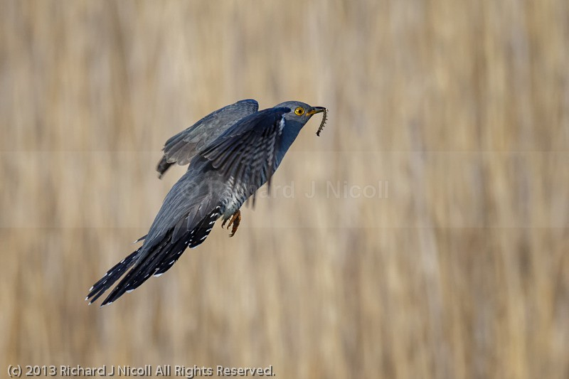 Cuckoo (Cuculus canorus) flying with Caterpillar - Cuckoo (Cuculus canorus)