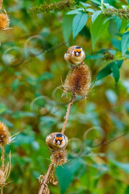 goldfinch Carduelis carduelis-3745 - UK birds