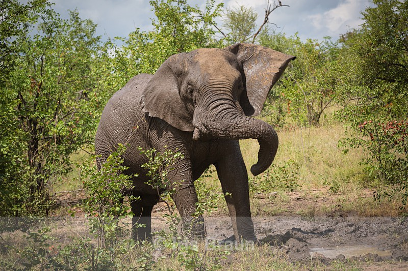 The Kruger Shake III - Elephant