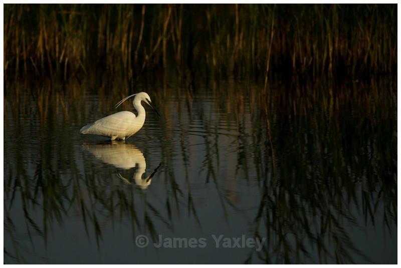 Little Egret Fishing - River Scrape & Lake