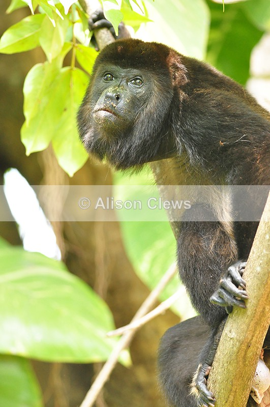 Howler Monkey - Wildlife