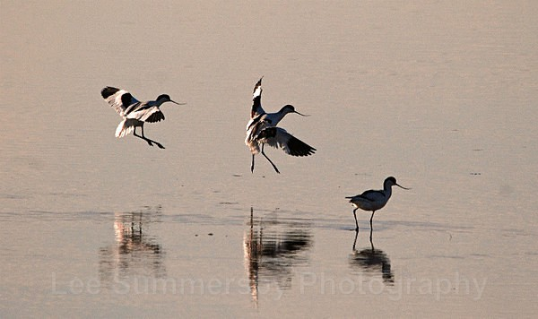 Avocets at dusk, River Exe, Topsham, Devon - Birds