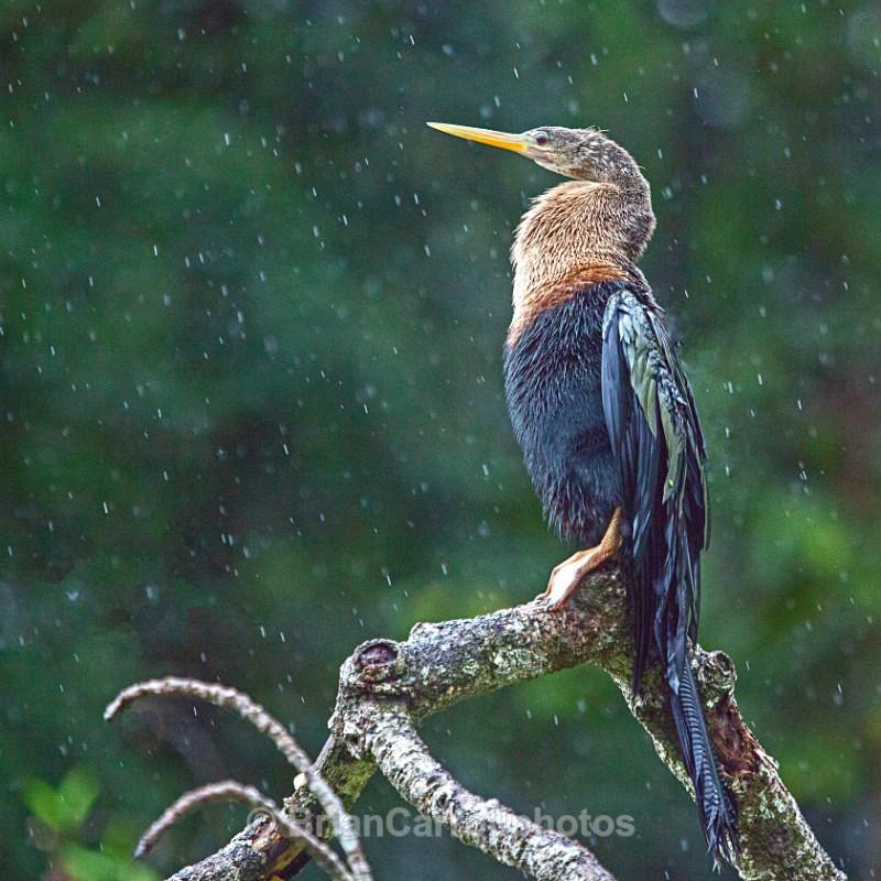 Anhinga or American Darter, Costa Rica - Costa Rican Wildlife