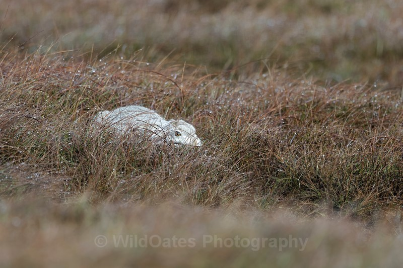 Mountain Hare Jan 2018 - Recent Images