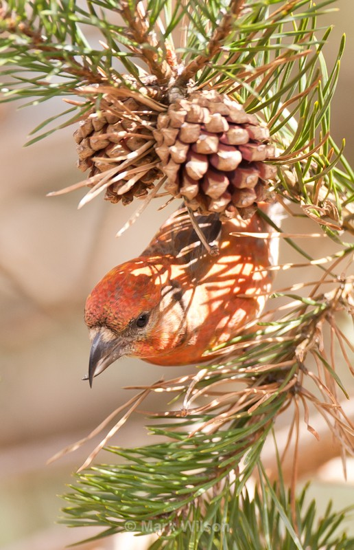 Crossbill - The rest.....