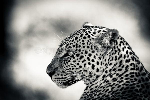 Kenya, Samburu, Leopard
