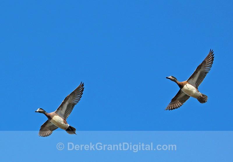 Greater Scaup in Flight - Birds of Atlantic Canada