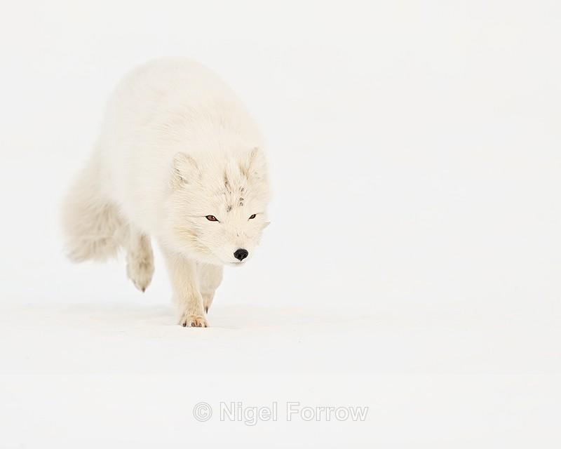 Svalbard white Arctic Fox running - Arctic Fox