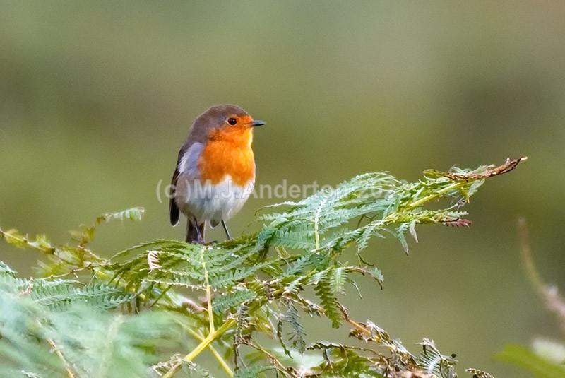 Robin, Lough Dan, Co. Wicklow - Wildlife