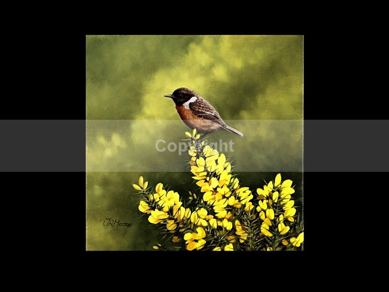 Stonechat on Whins - Birds