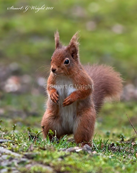 752 - Red Squirrels