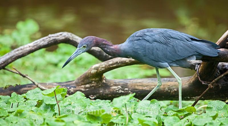 Little Blue Heron, Costa Rica - Costa Rican Wildlife