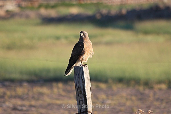 Hawk Taking a Rest - Nevada Birds