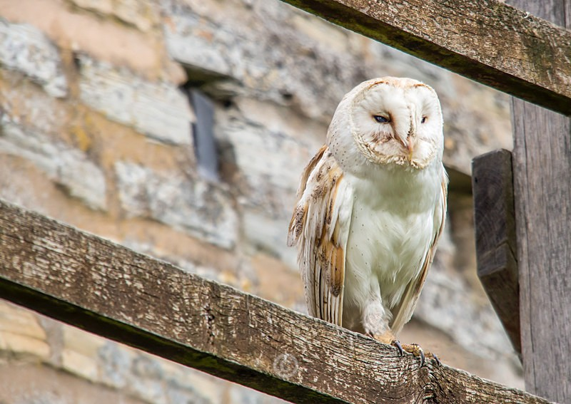 Barn Owl - WHAT A MIX!
