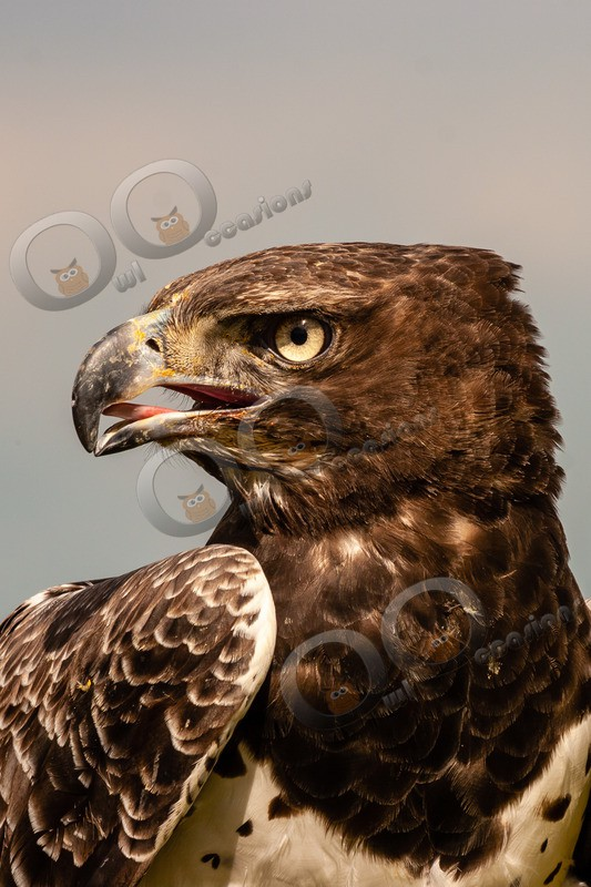 Martial eagle Polemaetus bellicosus-072 - BoP from around the world