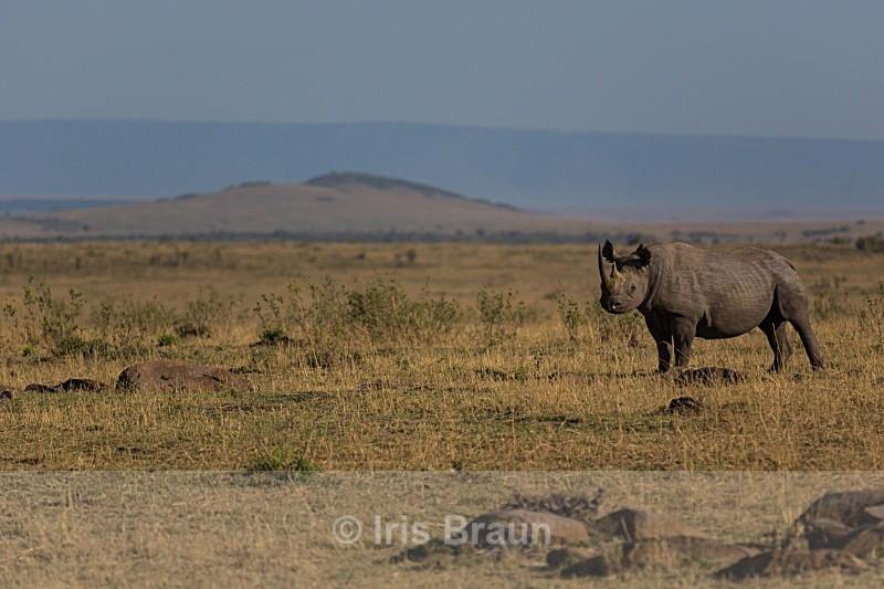 Black Rhino - Rhino