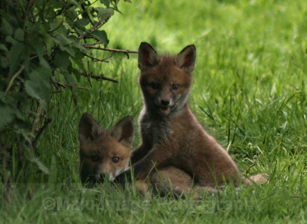 518 Fox cubs - OTHER WILDLIFE (UK)
