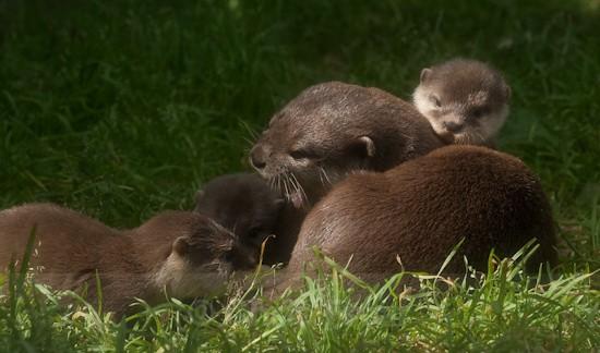 6 - Otters