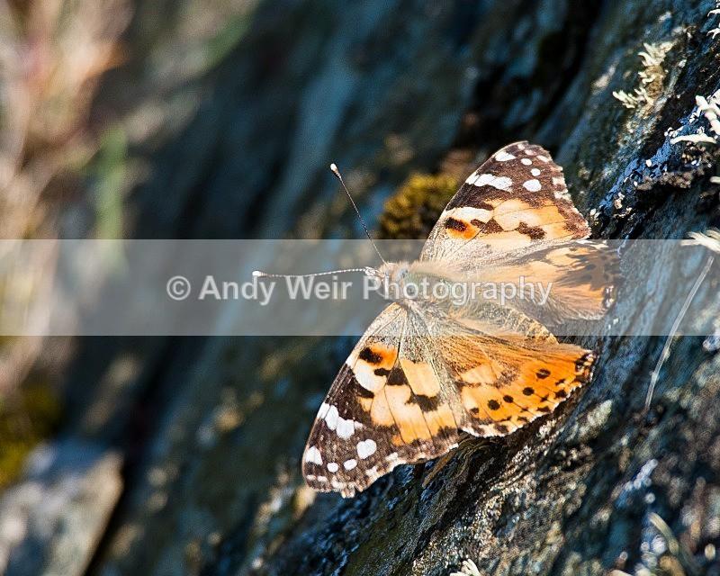 20090524-099 - Butterflies & Moths