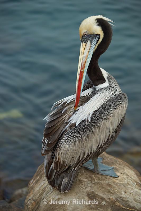 Peruvian Pelican - Coastal Chile