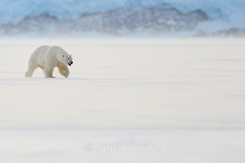 Polar Bear (male) walking, Svalbard, Norway - Polar Bear